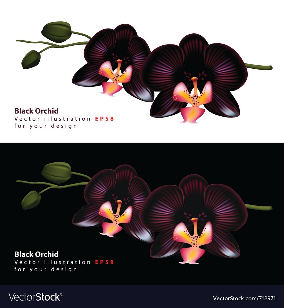 black orchid